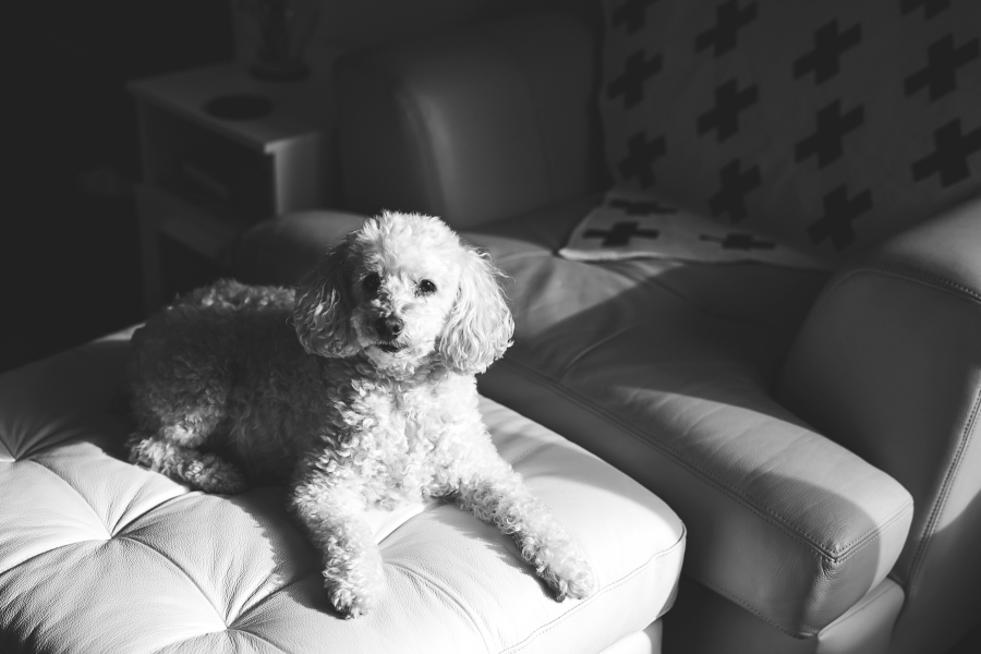 Black and white image of a white toy poodle by Seattle Photographer